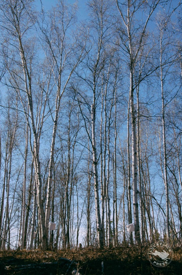The birch trees tapped for the syrup are some of the tallest trees around Yellowknife.