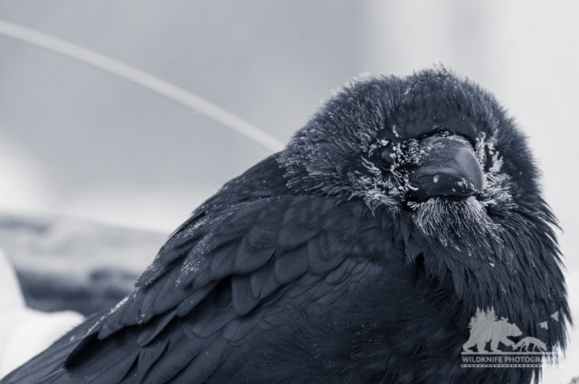 Yellowknife Raven Wildlife