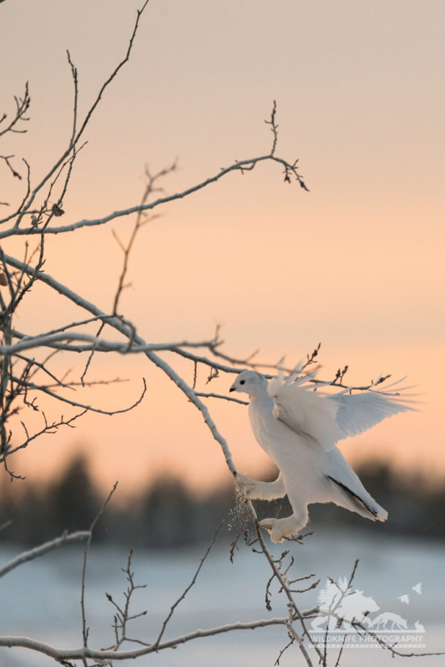 Yellowknife Wildlife Ptarmigan