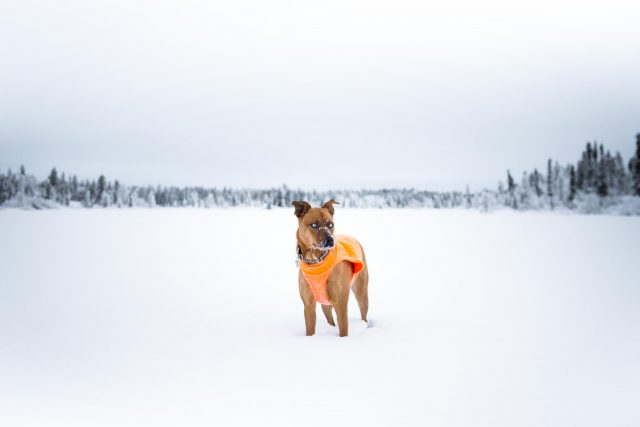 Yellowknife Dog Walking on a Lake